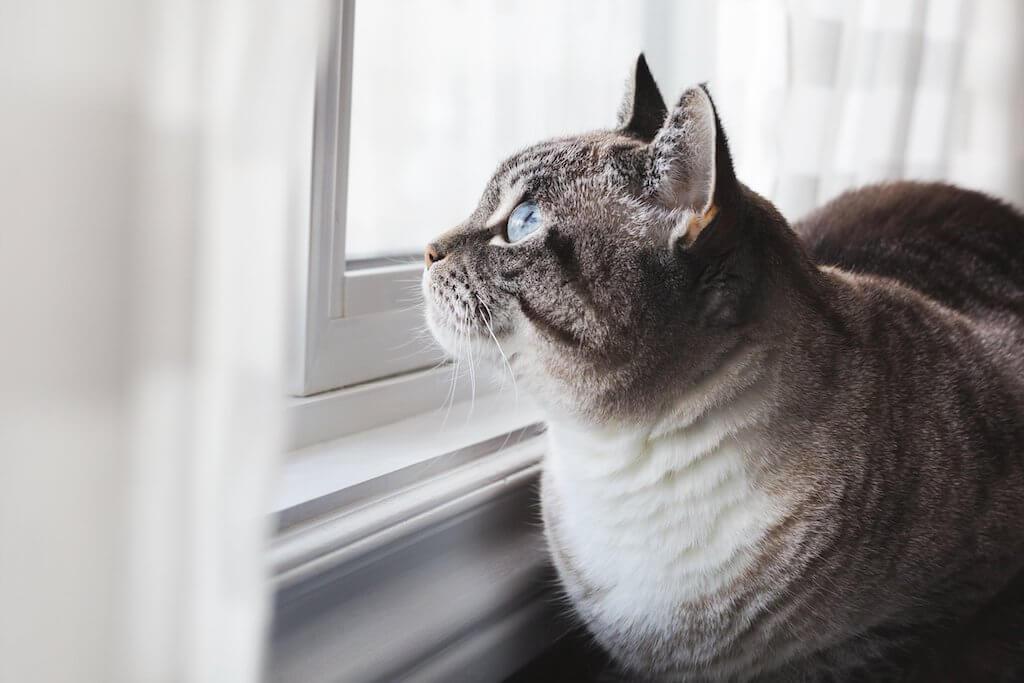 青い目の美しい猫